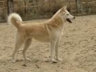 Malou - croisé berger/husky
