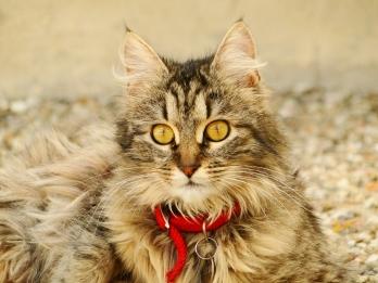 ROSIE chatte croisée